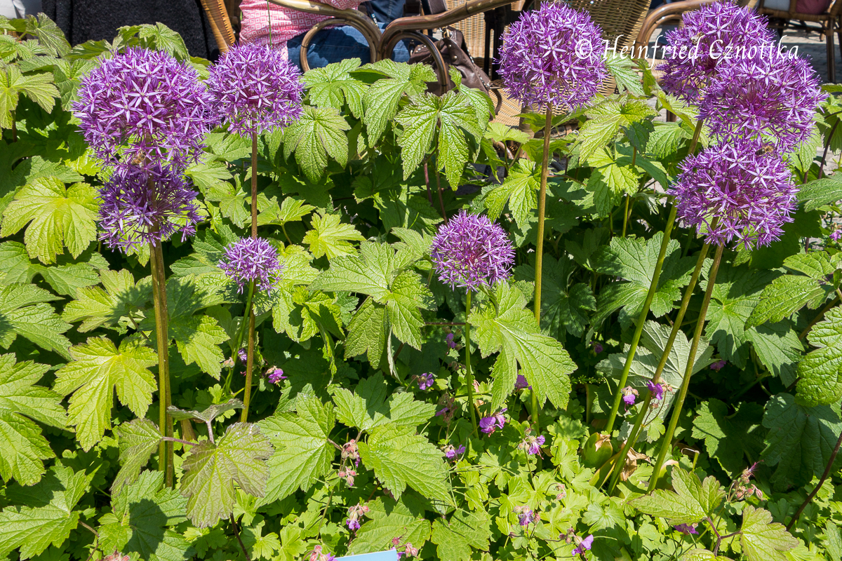 "Allium ""Globemaster"" schaut aus dichtem Blattwerk heraus"