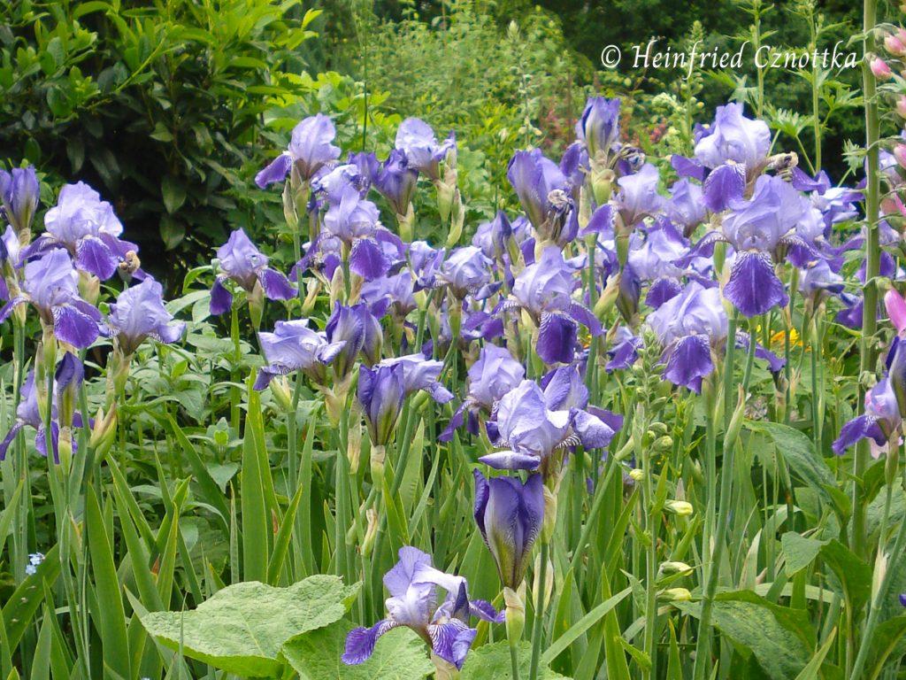 deutsche Schwertlilie, Iris x germanica