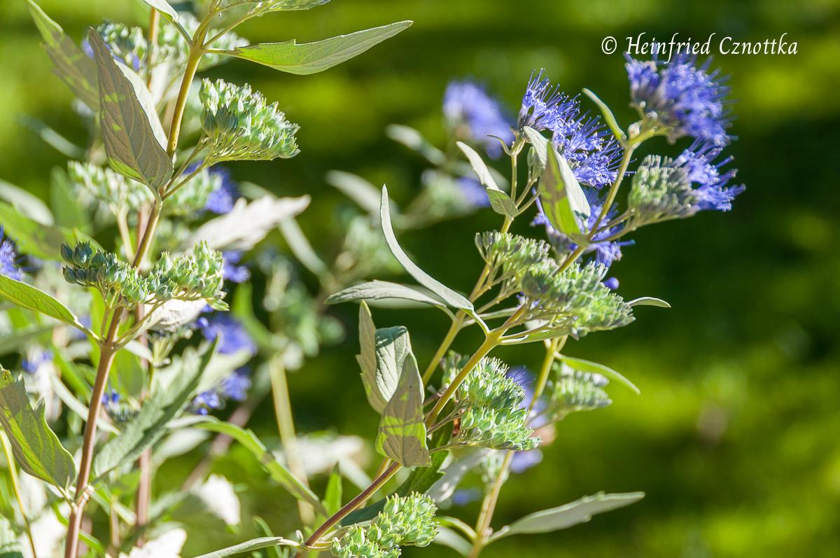 "Bartblume - Caryopteris ""Heavenly Blue"""