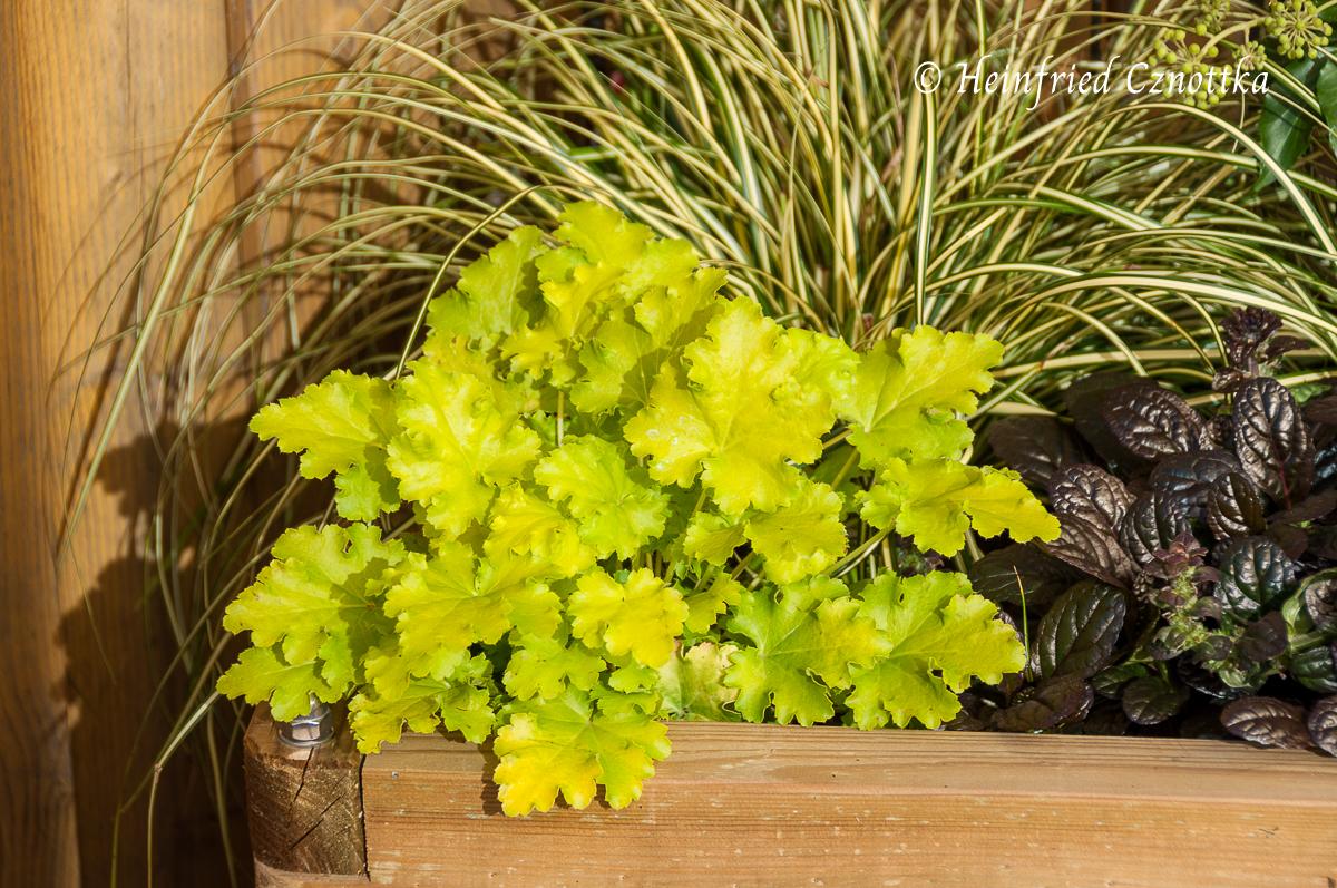 "Laubkontrast, Purpurglöckchen (Heuchera ""Key Lime Pie""), Gold-Segge (Carex oshimensis ""Evergold""), rotlaubiger Günsel (Ajuga reptans ""Elmblut"")"