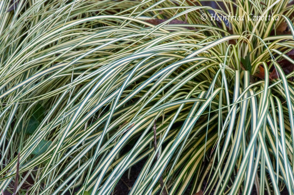 "Gold-Segge Carex oshimensis ""Evergold"""