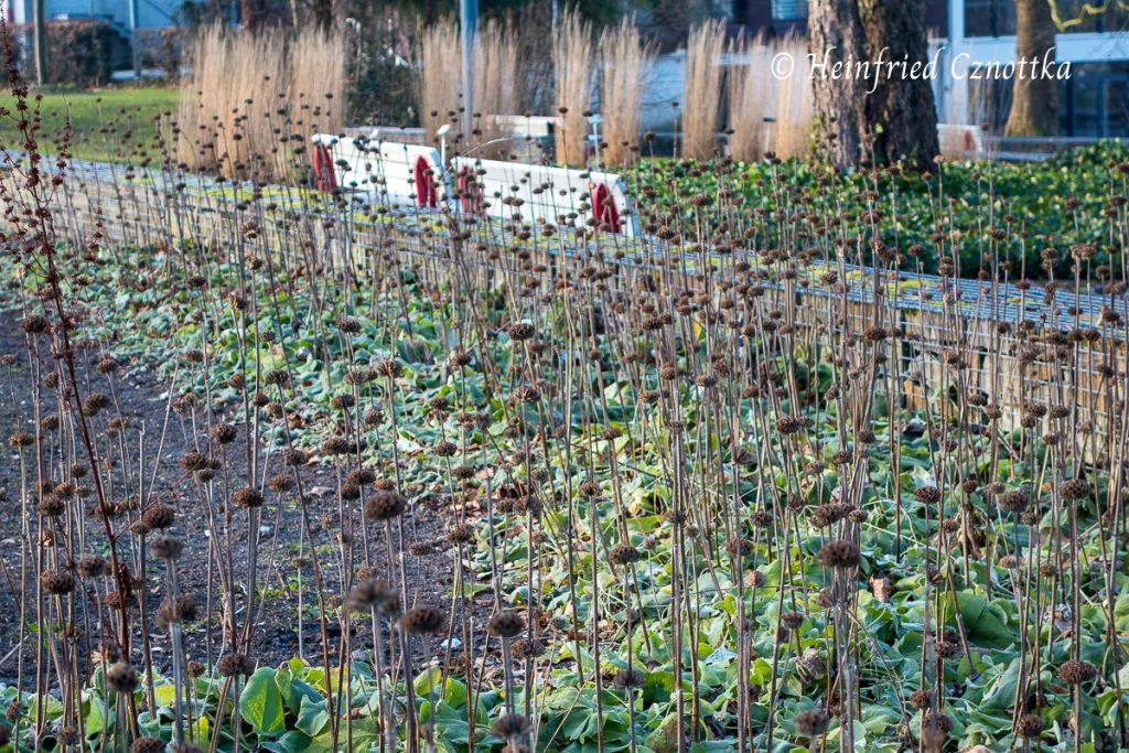 Samenstände im Winter Brandkraut (Phlomis russeliana)
