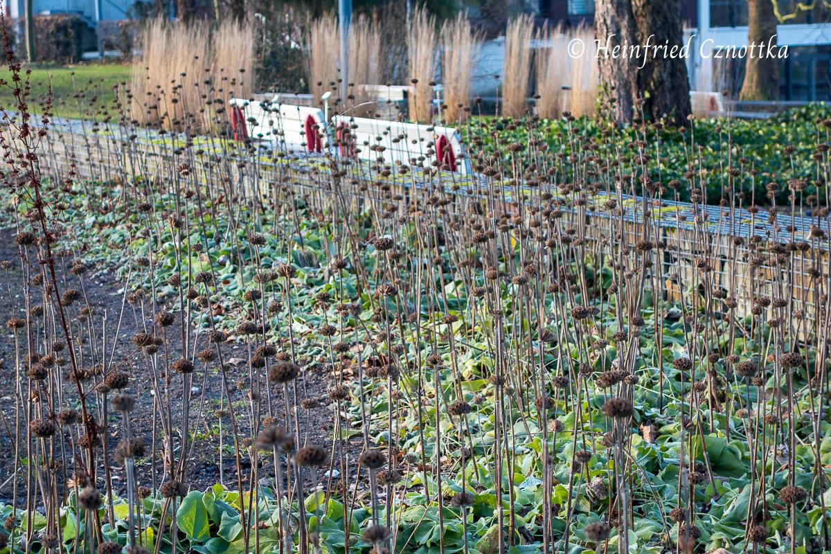 Samenstände des Brandkrauts (Phlomis russeliana) im Winter