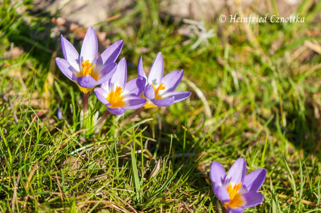 "Krokus ""Tricolor"" (Crocus sieberi ssp. sublimis ""Tricolor"")"