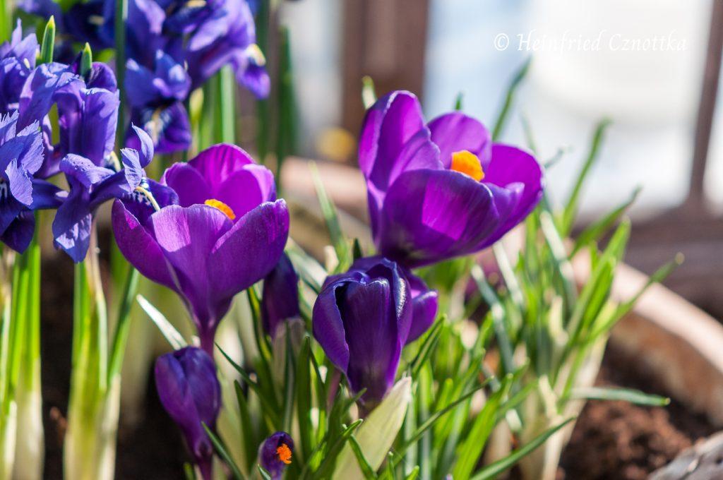 """Frühlingskrokus """"Flower Record"""""""