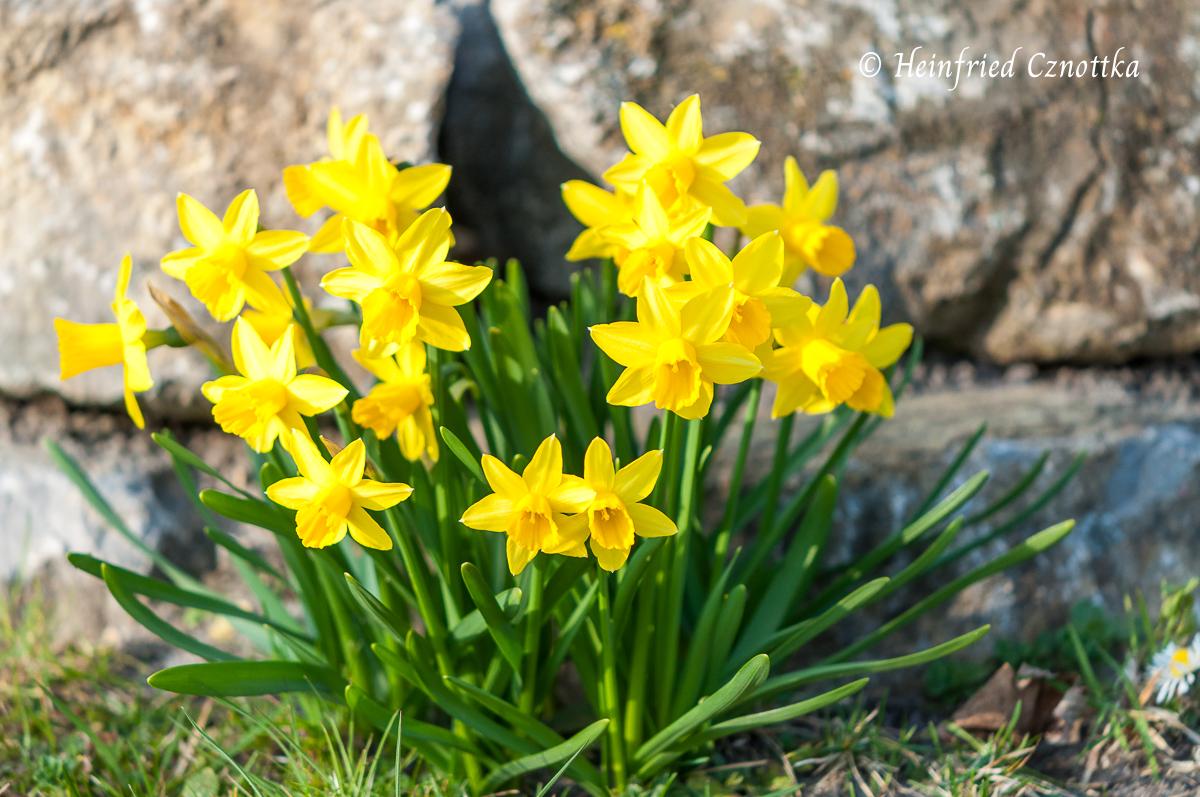 """Narcissus """"Tete a Tete"""" vor einem Natursteinmäuerchen"""