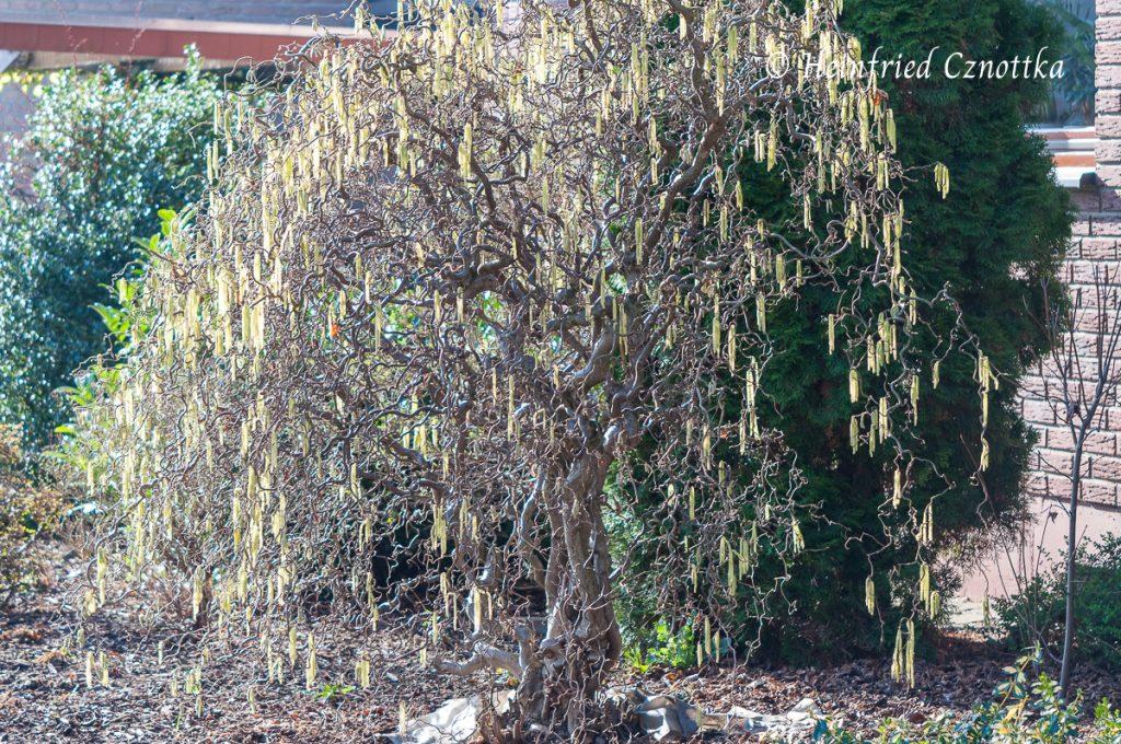 """Im Winter zieren die gelben Kätzchen und die gedrehten Äste die Korkenzieherhasel (Corylus avellana """"Contorta"""")."""