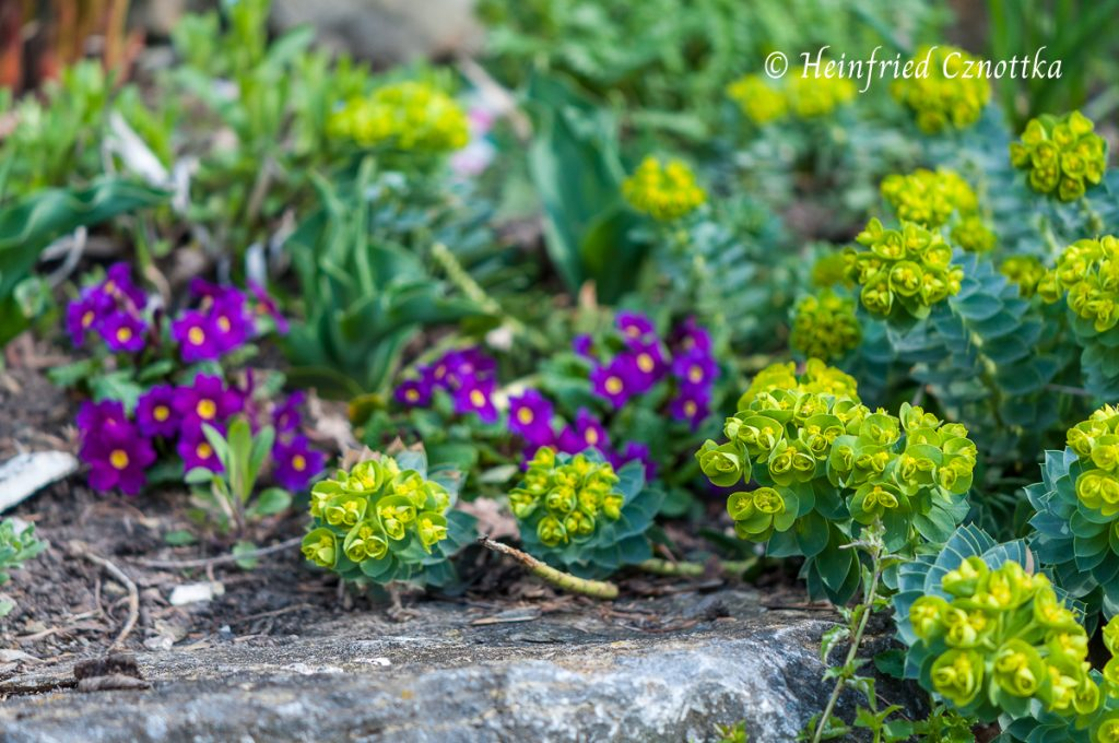 Walzenwolfsmilch (Euphorbia myrsinites) mit Kissenprimel (Primula pruhoniciana)