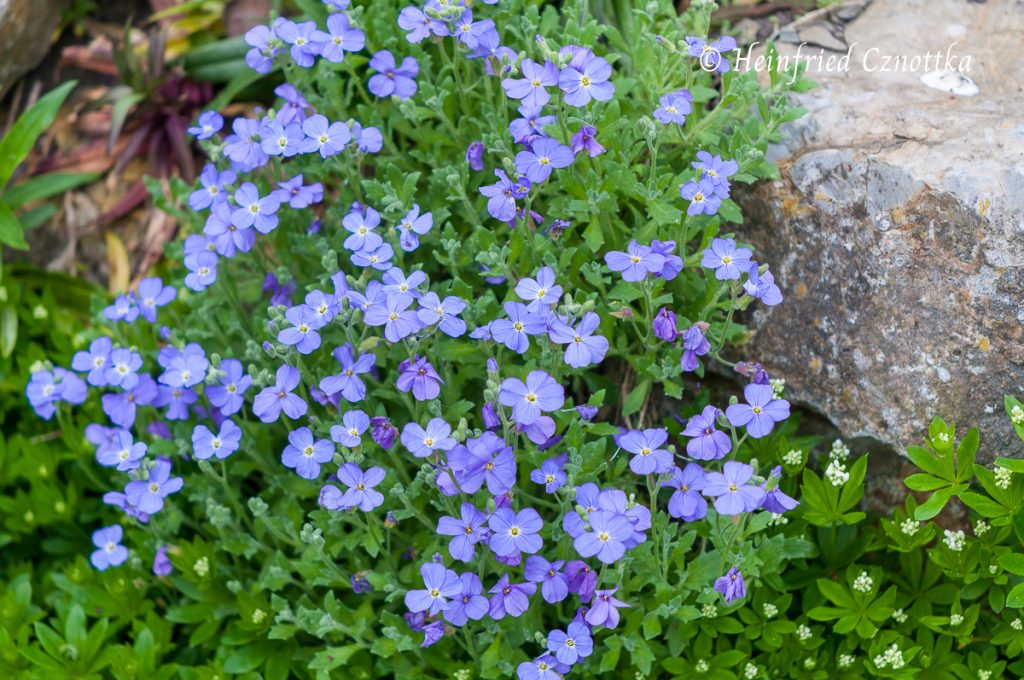 Blaukissen (Aubrieta x cultorum)