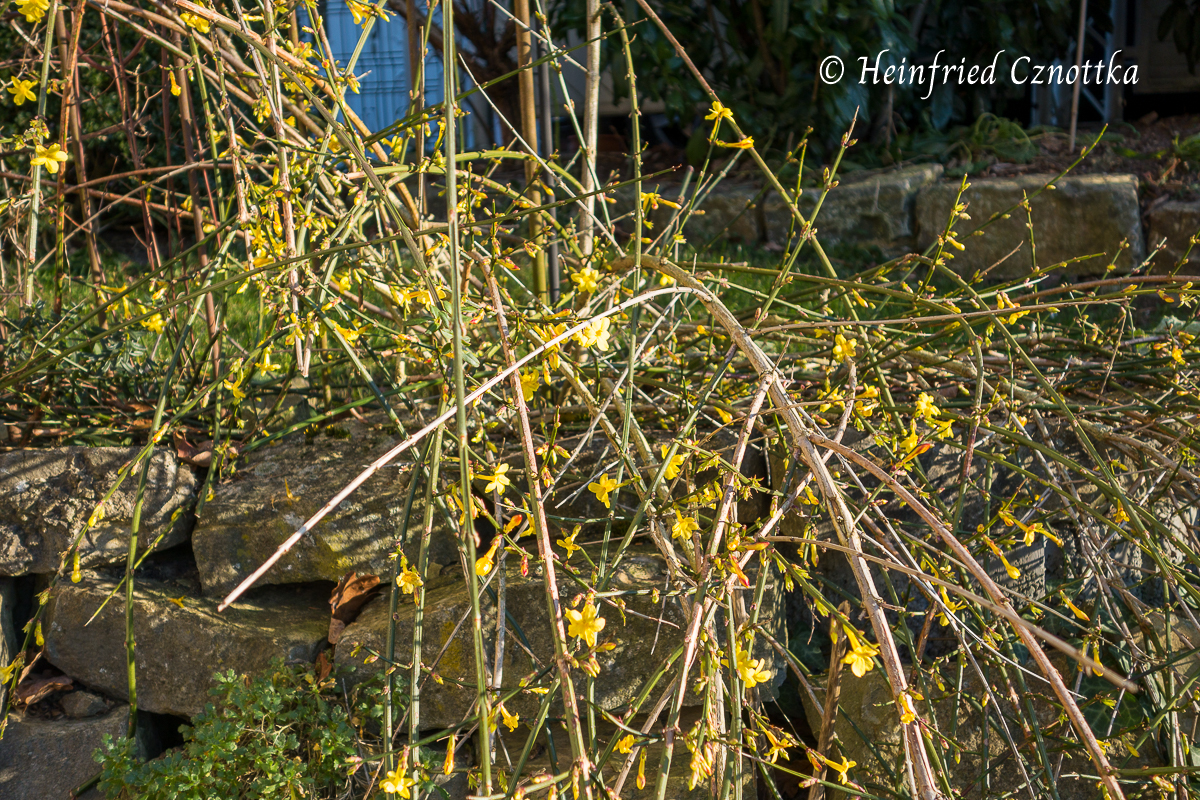 Die langen Zweige des Winterjasmins hängen von einer Mauer herunter