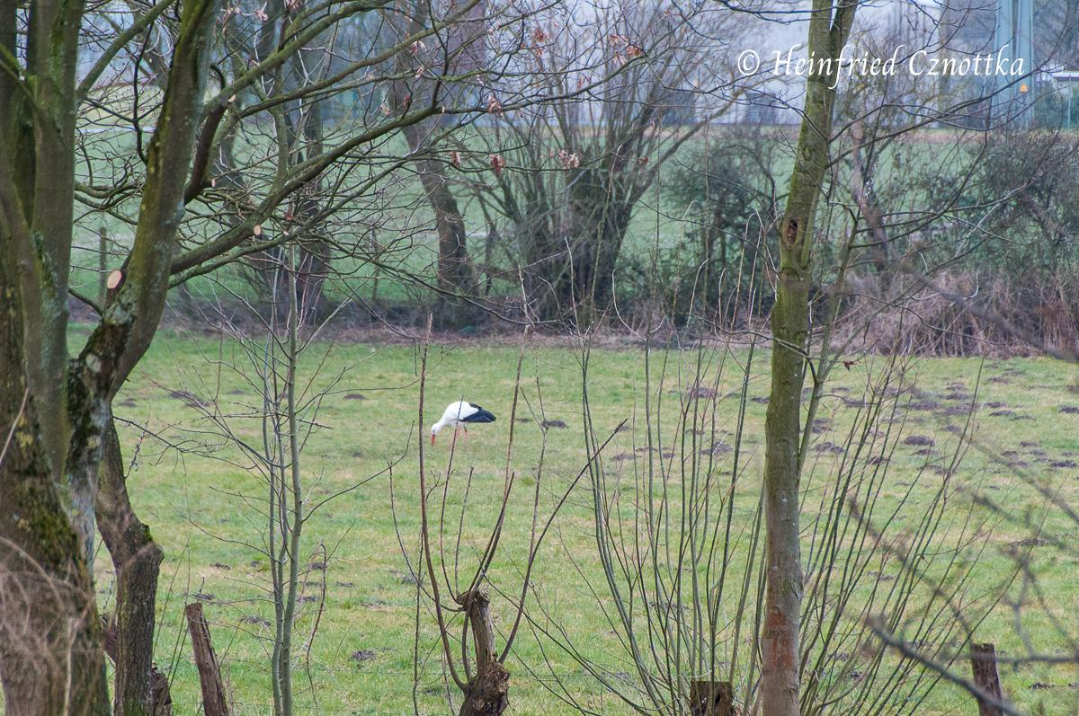 Ein Storch auf der Wiese