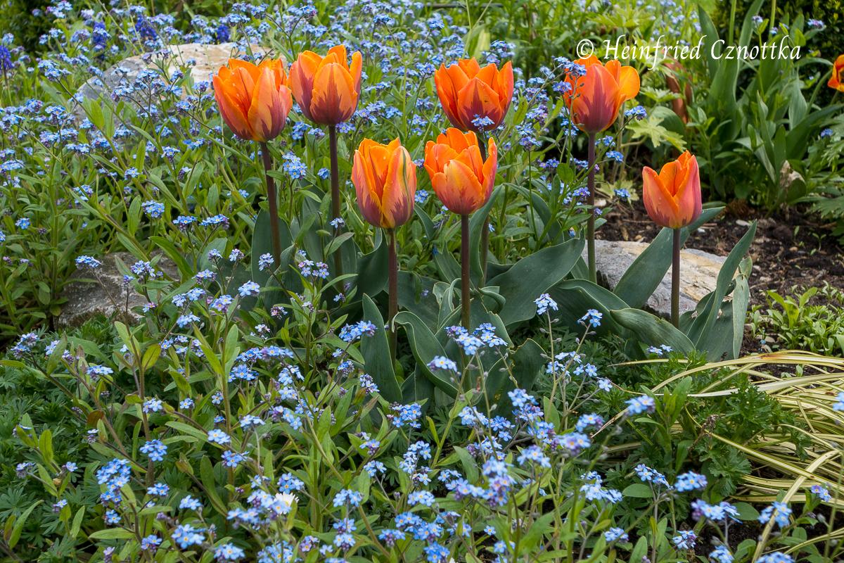 "Vergissmeinnicht (Myosotis sylvatica) mit Tulpe ""Prinsess Irene"""