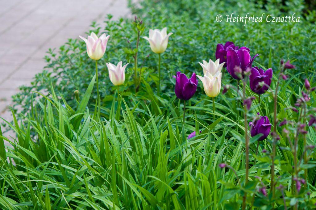 """Die Tulpen """"Elegant Lady"""" und """"Negrita"""" zwischen Taglilien und Katzenminze."""