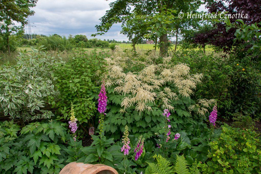 Wanderer im Garten: Fingerhut (Digitalis purpurea)