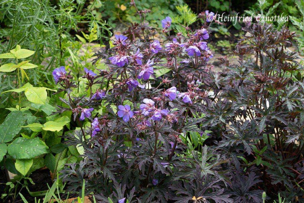 """Dunkellaubiger Storchschnabel (Geranium pratense-Hybride """"Dark Reiter"""")"""