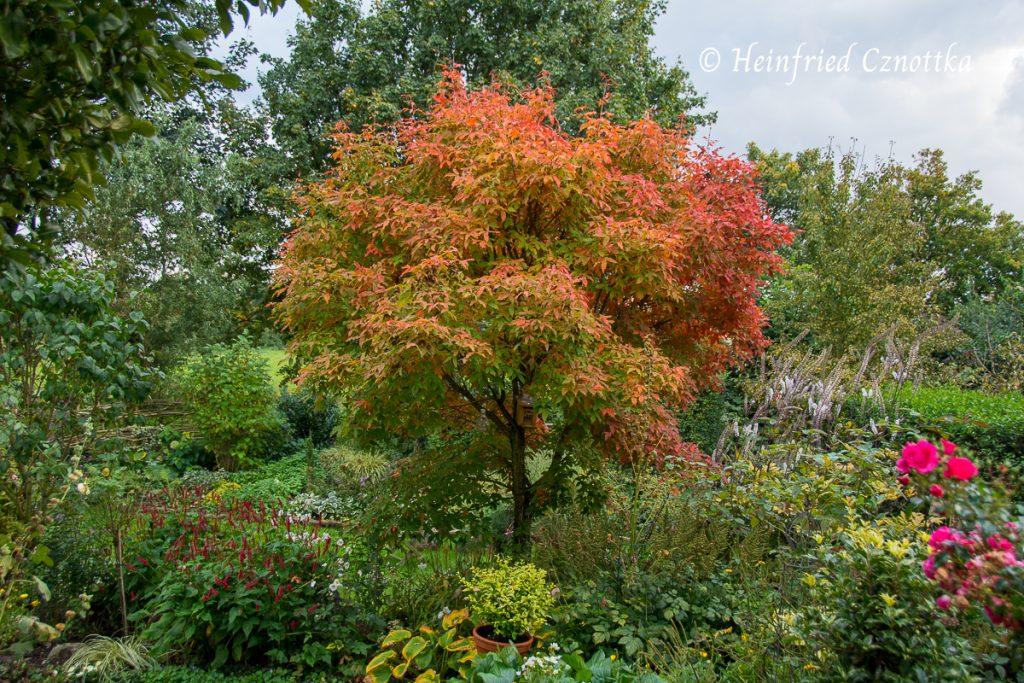 Dreiblütiger Ahorn (Acer triflorum) in Herbstfarben