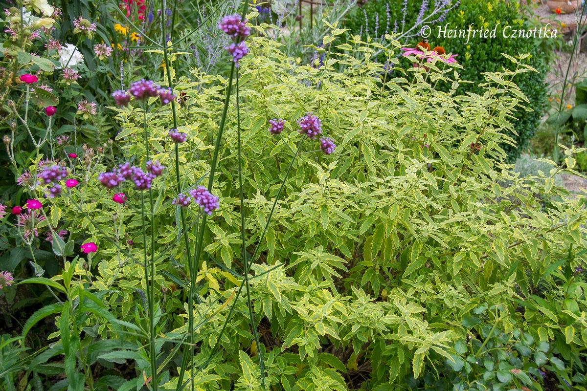 """Bartblume - Caryopteris x clandonensis """"Summer Sorbet"""" mit Patagonischem Eisenkraut (Verbena bonariensis) und pinker Vexiernelke (Silene coronaria)"""