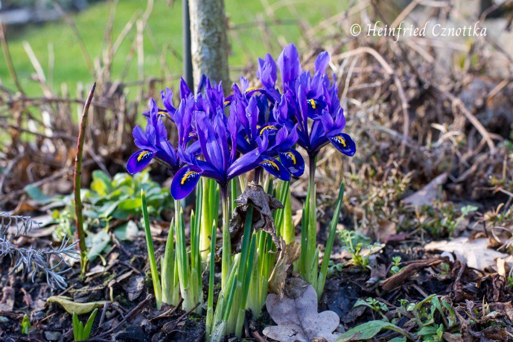 Netzblatt-Iris (Iris reticulata)
