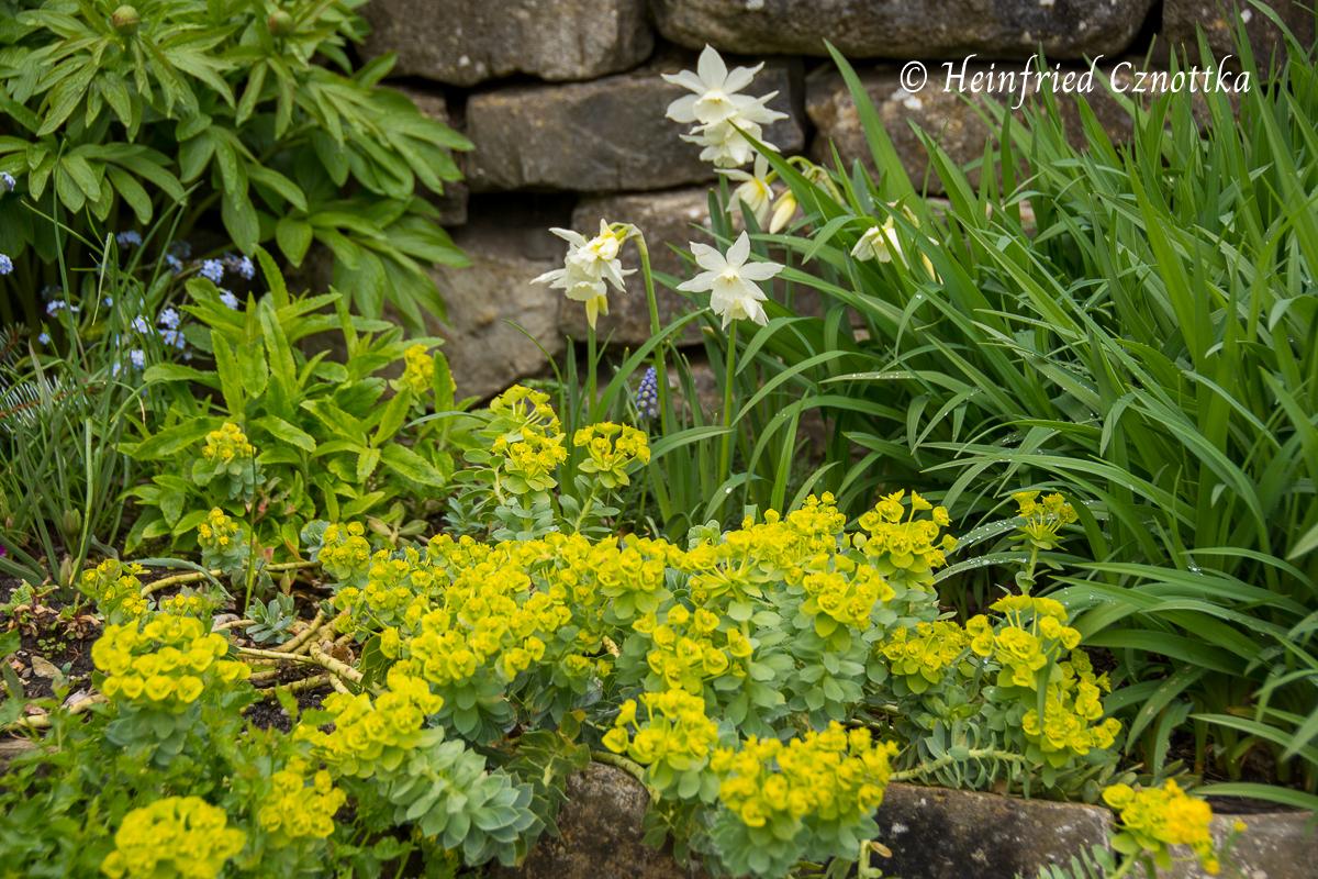 "Walzenwolfsmilch (Euphorbia myrsinites) mit Narzisse ""Thalia"""