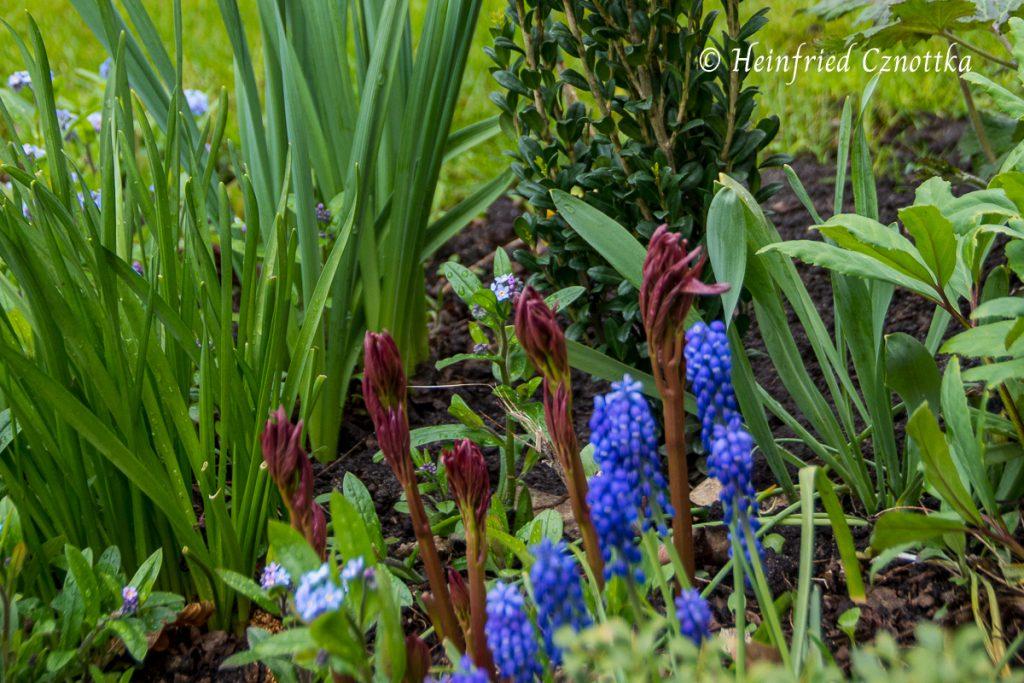 Roter Austrieb der Pfingstrose mit den blauen Blüten der Traubenhyazinthen