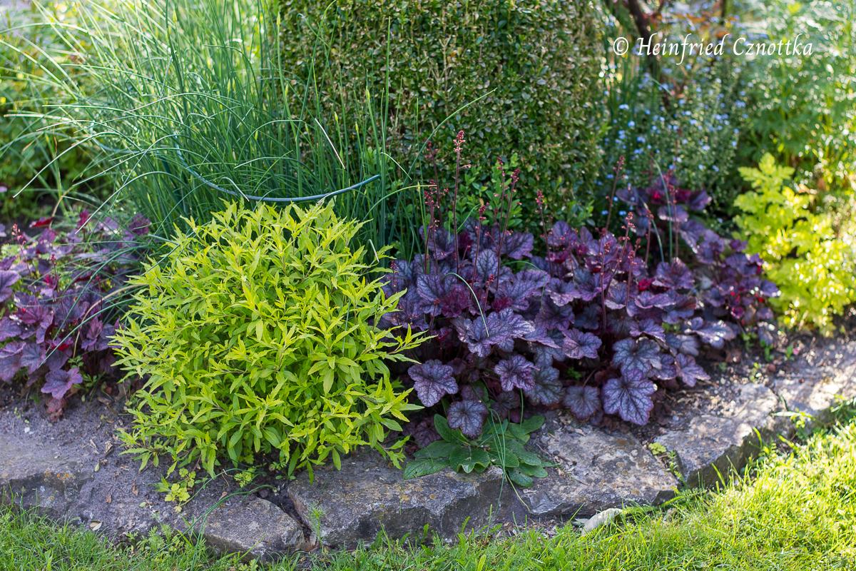 """Bartblume - Caryopteris x clandonensis """"Worcester Gold"""" mit Purpuglöckchen (Heuchera) """"Little Prince"""""""