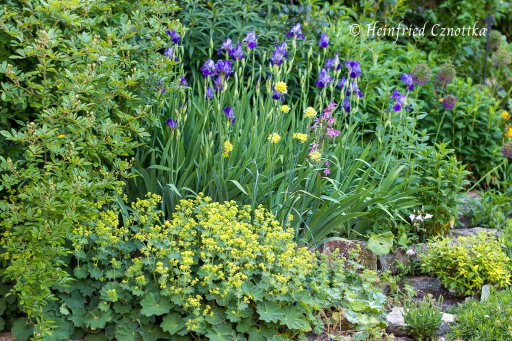 Deutsche Schwertlilie, Iris germanica, Allium obliquum, Scharfer Gelblauch, Frauenmantel