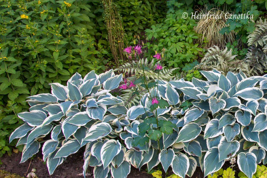 Wanderer im Garten: Akelei (Aquilegia vulgaris)