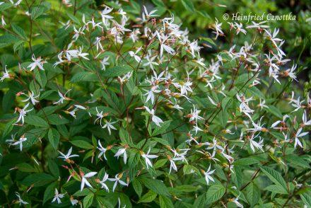 Dreiblattspiere (Gillenia trifoliata)