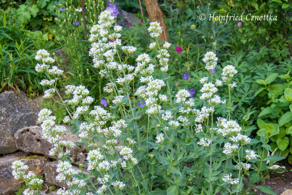 """Weiße Spornblume, Centranthus ruber """"Albus"""""""