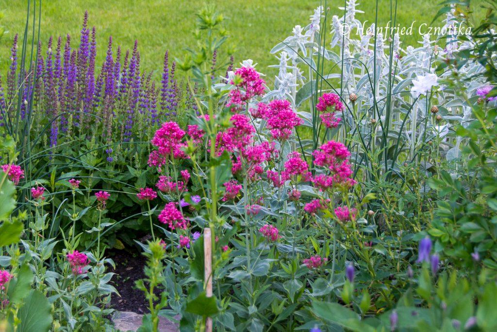 Kombination, rote Spornblume, Centranthus ruber, Steppen-Salbei, Wollziest