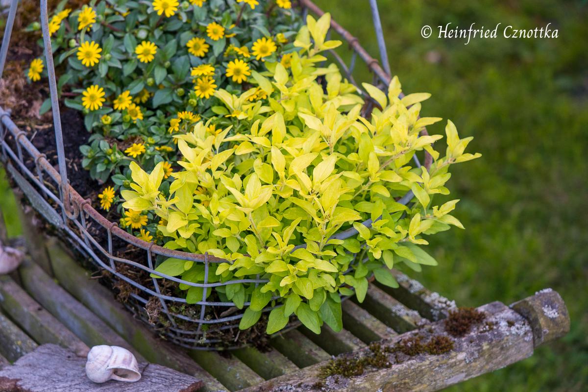 Goldoregano (Origanum vulgare) und Husarenknöpfchen (Sanvitalia procurrens) in einem Korb