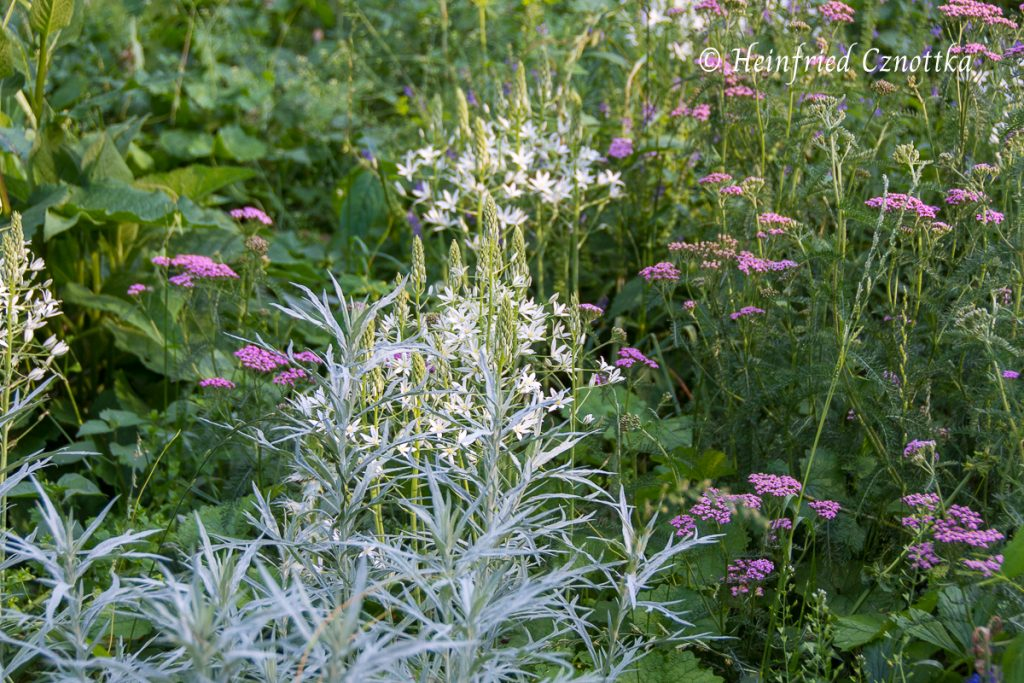 Landesgartenschau Bad Lippspringe, Rosa Schafgarbe (Achillea), Silberraute (Artemisia ludoviciana) und Milchstern (Ornithogalum)
