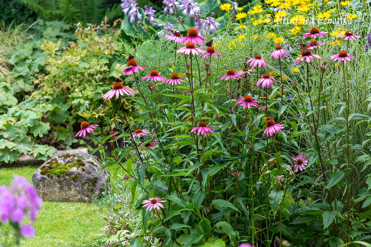 "Echinacea purpurea ""Rubinstern"""