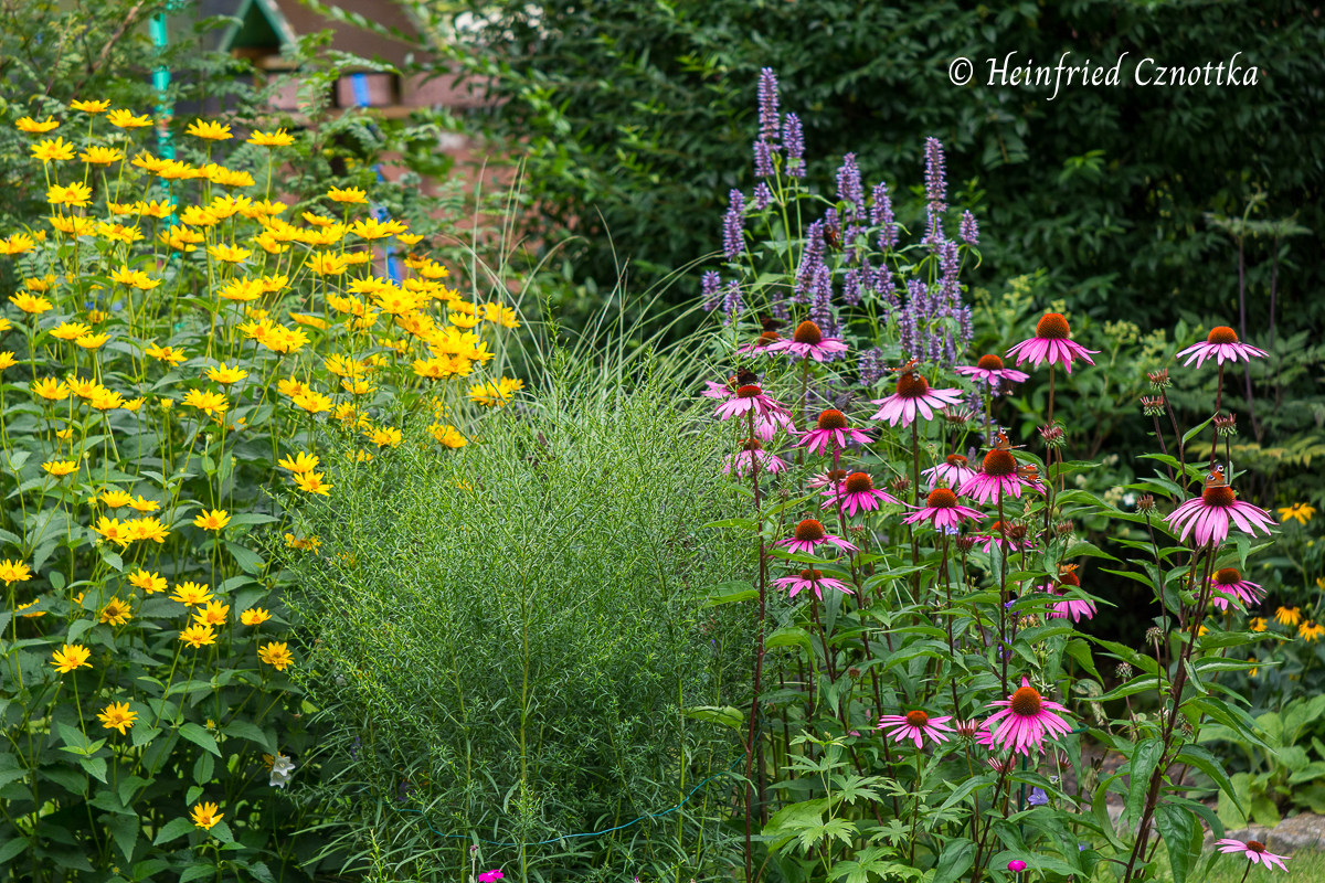 """Echinacea """"Rubinstern"""" mit Duftnessel, Myrtenaster (Symphyotrichum ericoides) und Sonnenauge (Heliopsis helianthoides)"""