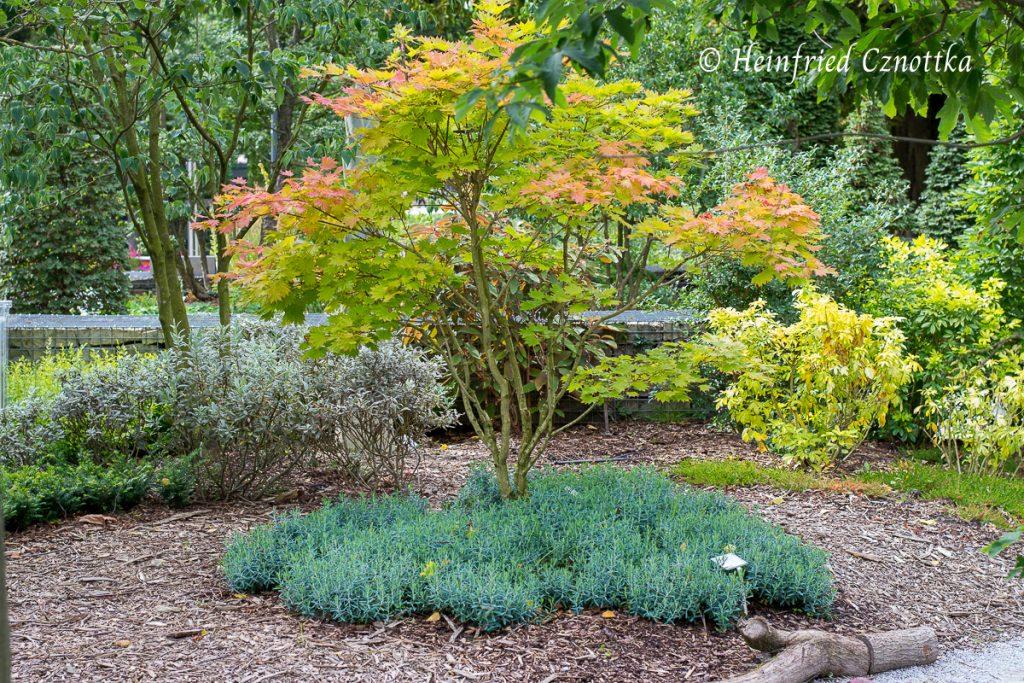 """Landesgartenschau Bad Lippspringe, Gehölzschaupflanzung: ein Japanischer Goldahorn (Acer shirasawanum """"Aureum"""")"""