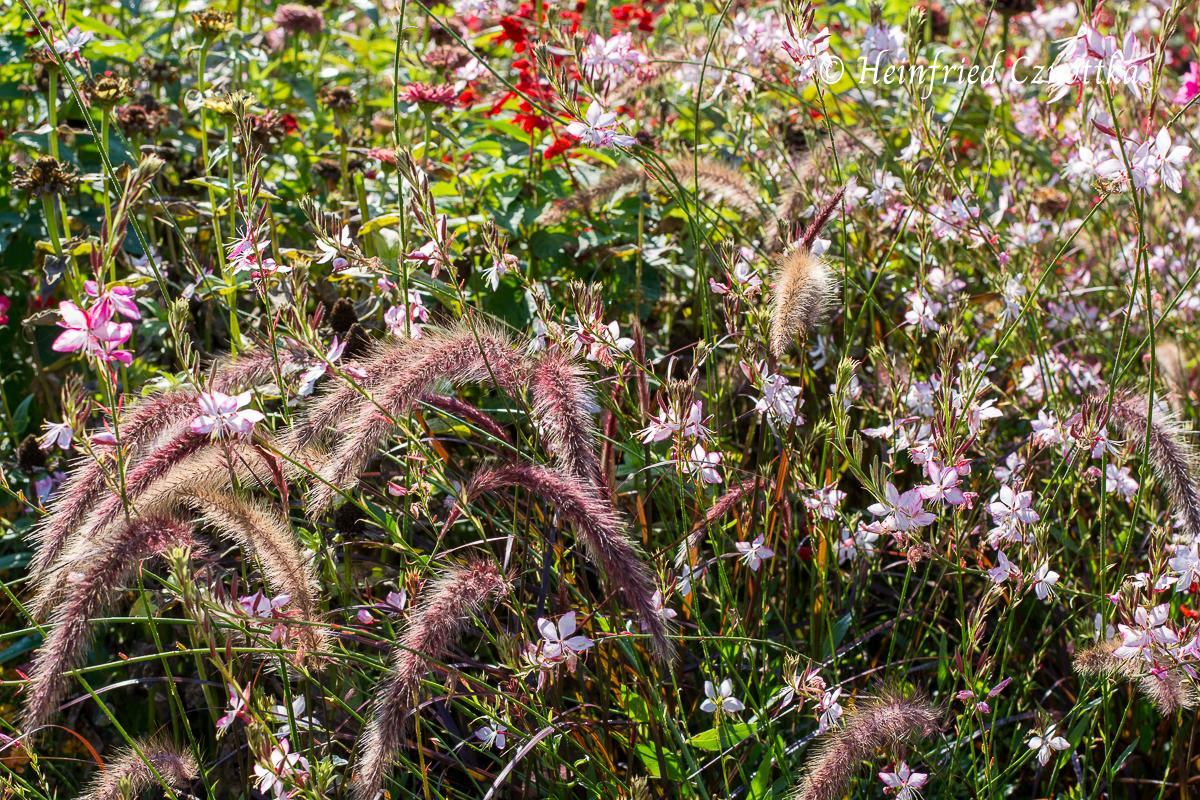 "Landesgartenschau Bad Lippspringe, Rotes Lampenputzergras (Pennisetum setaceum ""Rubrum"") mit rosa Prachtkerze (Gaura lindheimeri)"