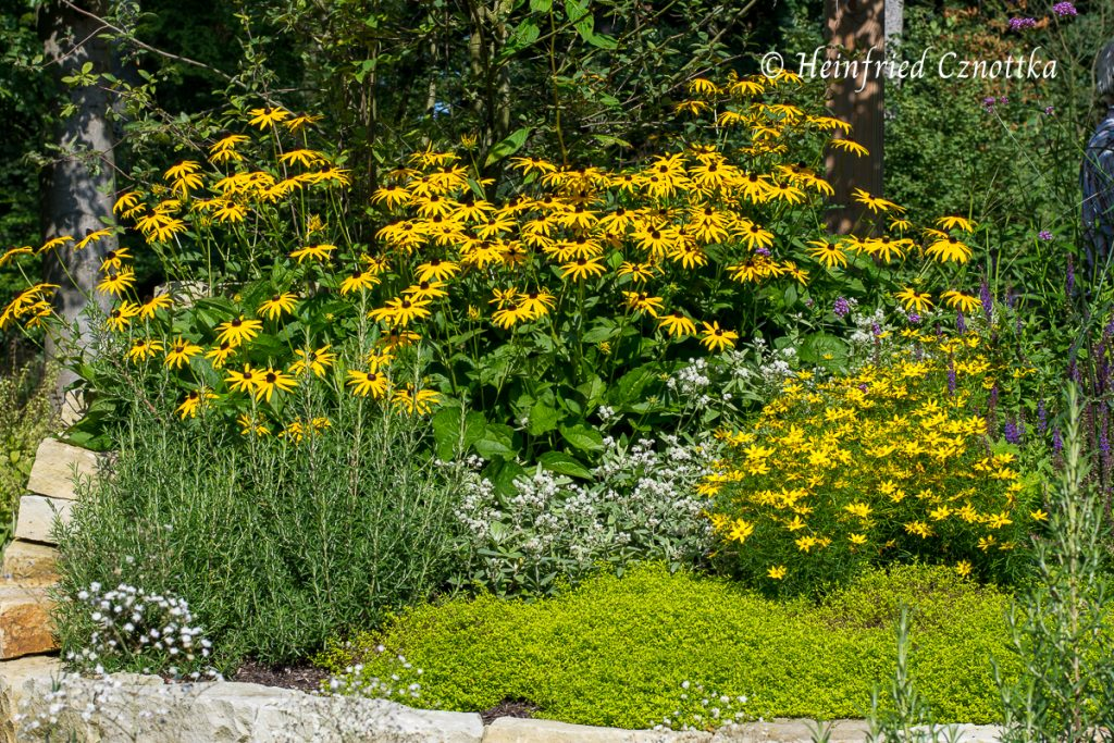 """Rudbeckia """"Goldsturm"""" mit Quirlblättrigem Mädchenauge (Coreopsis verticillata) im gleichen Gelb, Rosmarin und Perlkörbchen (Anaphalis triplinervis)"""