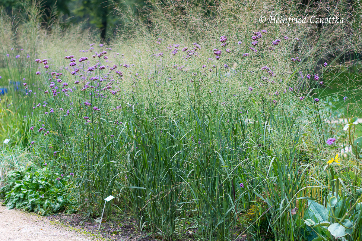 "Verbena bonariensis mit Rutenhirse (Panicum virgatum ""Heavy Metal"")"