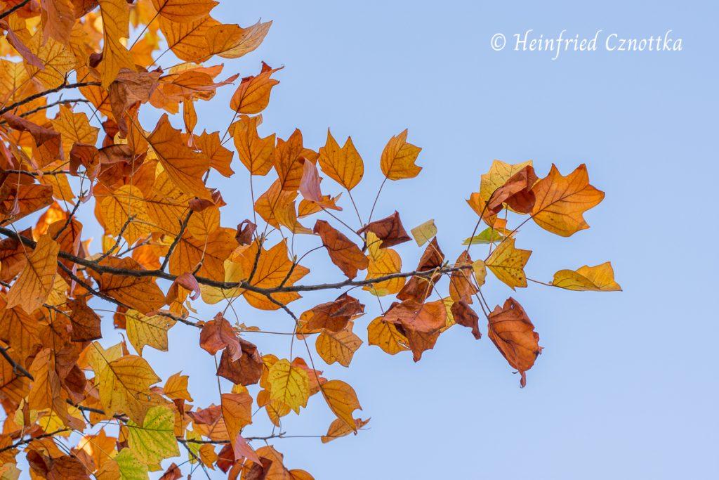 Zauberhaftes Herbsttöne: das Laub des Tulpenbaums (Liriodendron tulipifera) erinnert an die Form einer Lyra, daher der botanische Name