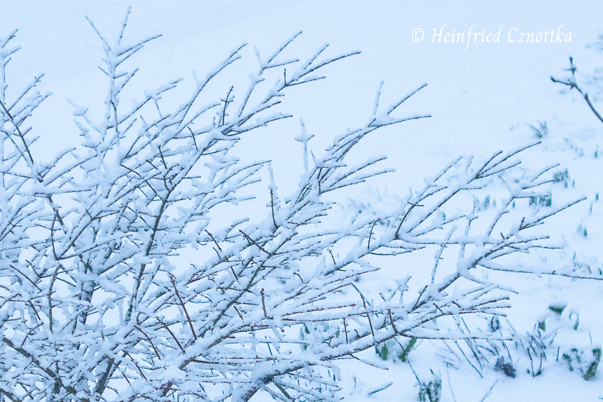 """Schnee sammelt sich auf den Korkleisten des niedrigen Korkflügelstrauches (Euonymus alatus """"Compactus"""")"""