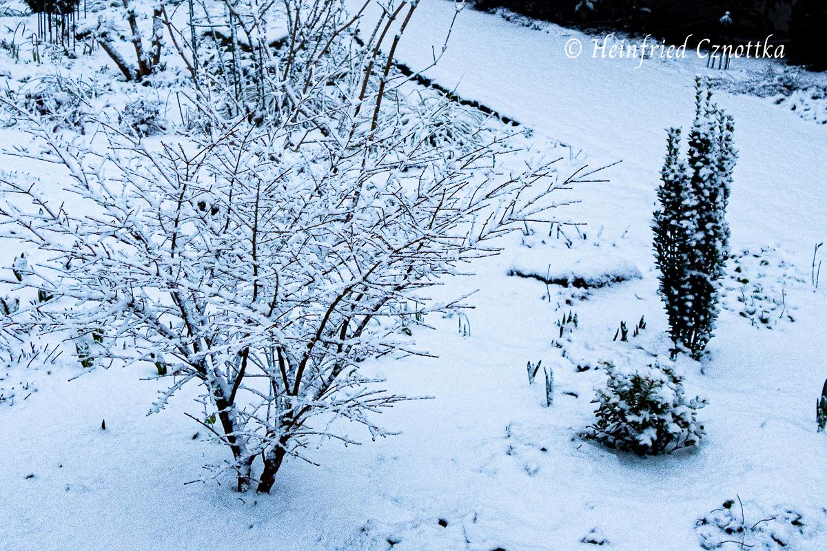 """Niedriger Korkspindelstrauch (Euonymus alatus """"Compactus"""") im Schnee"""