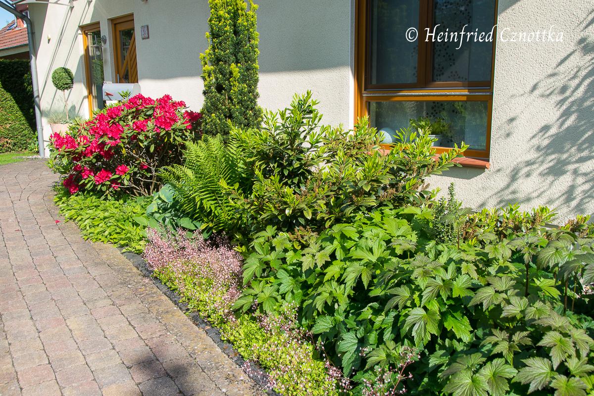 """Im Juni blühen Rhododendron """"Hachmann´s Feuerschein"""" und  Porzellanblümchen."""