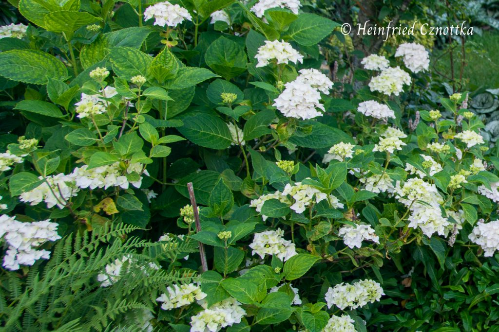 "Ballhortensie ""The Bride"" (Hydrangea macrophylla Endless Summer ""The Bride"")"
