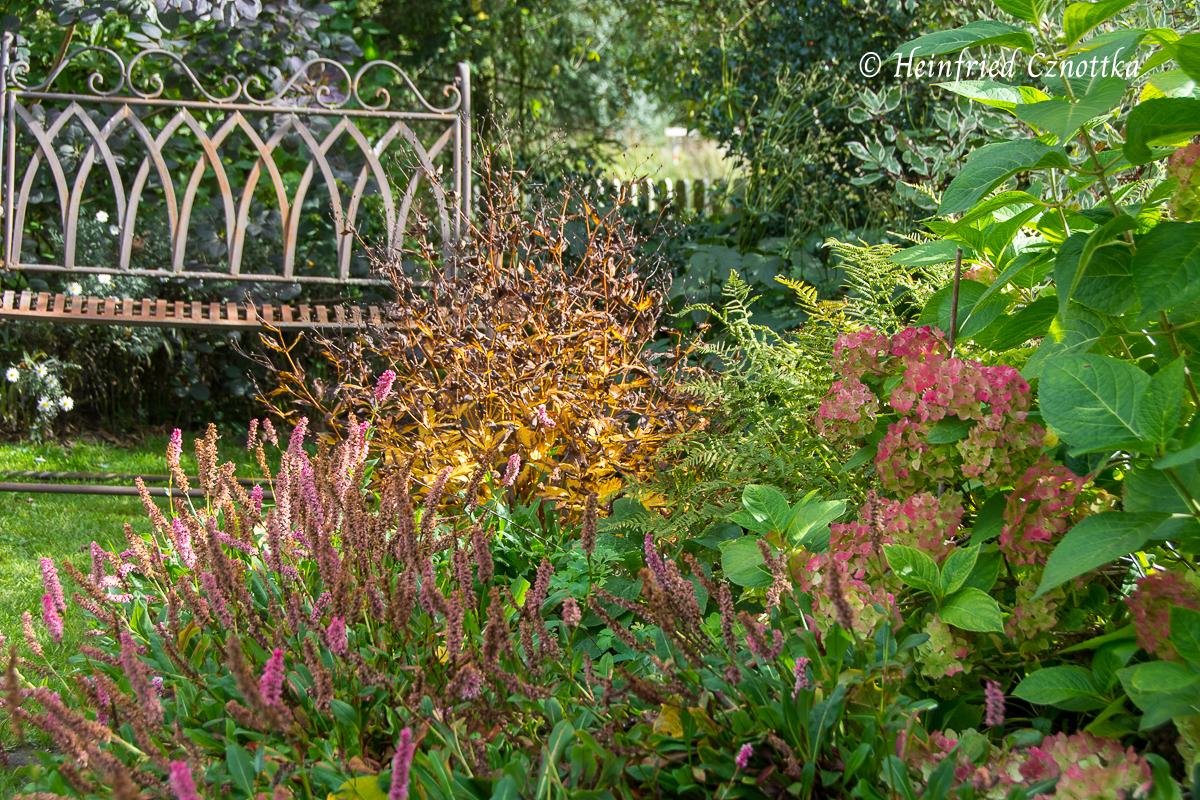 Dreiblattspiere (Gillenia trifoliata) in gelboranger Herbstfärbung