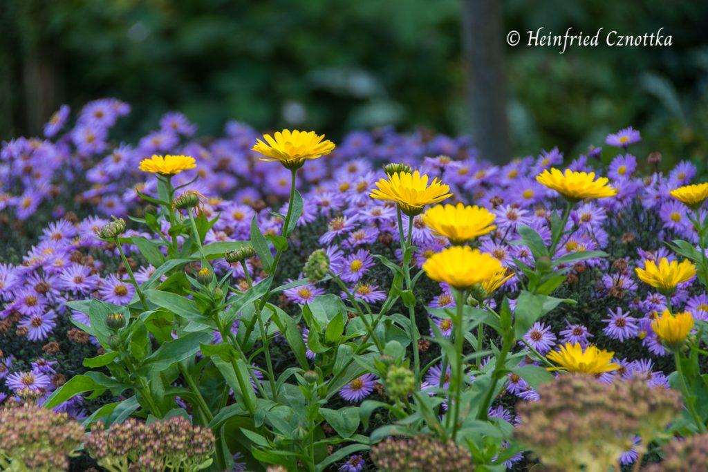 Gelbe Ringelblumen und violette Astern