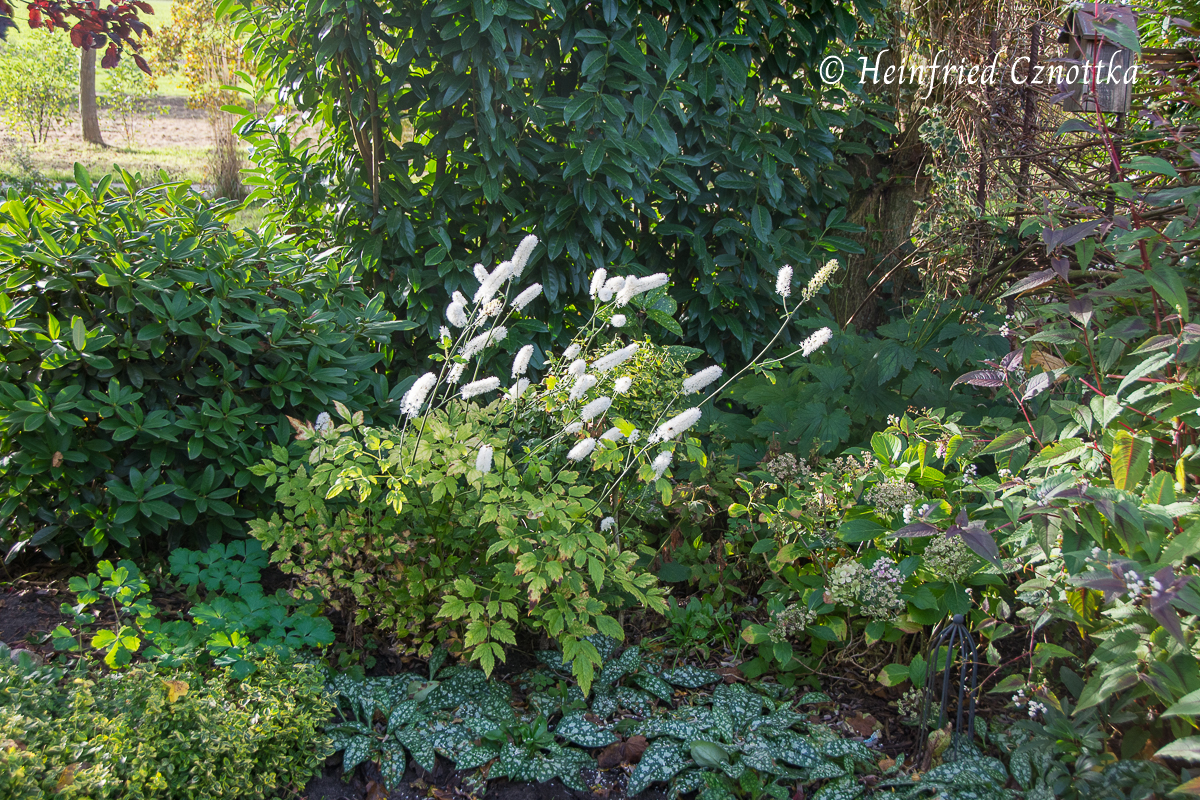 """Lungenkraut (Pulmonaria) mit Silberkerze (Actaea """"Armleuchter"""")"""
