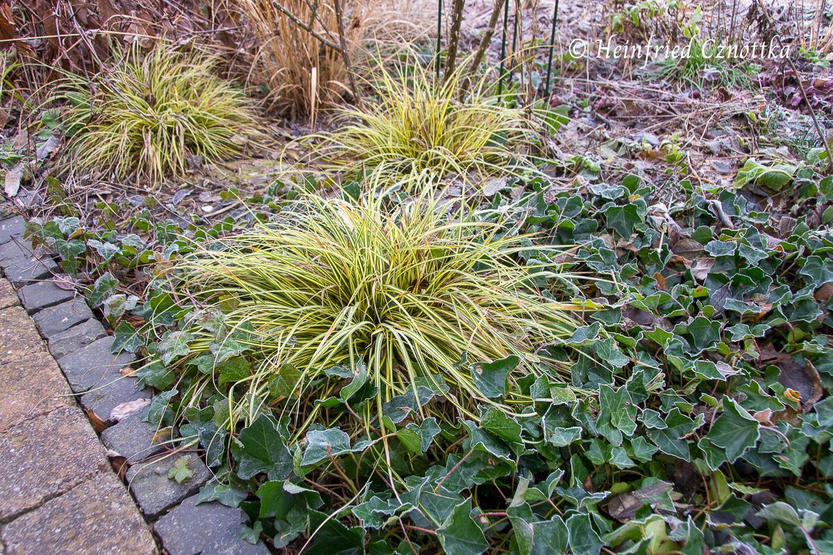 """Im winterlichen Beet: Japan-Goldsegge (Carex """"Evergold"""") und Efeu (Hedera helix)"""