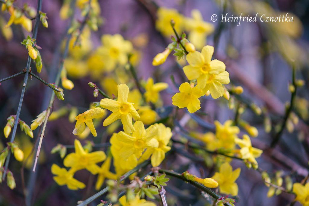Die leuchtend gelben Blüten des Winterjasmins