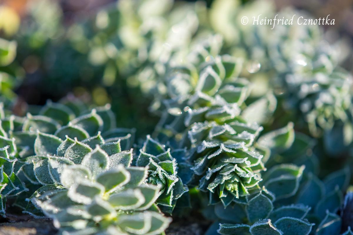 Walzenwolfsmilch (Euphorbia myrsinites) mit Raureif