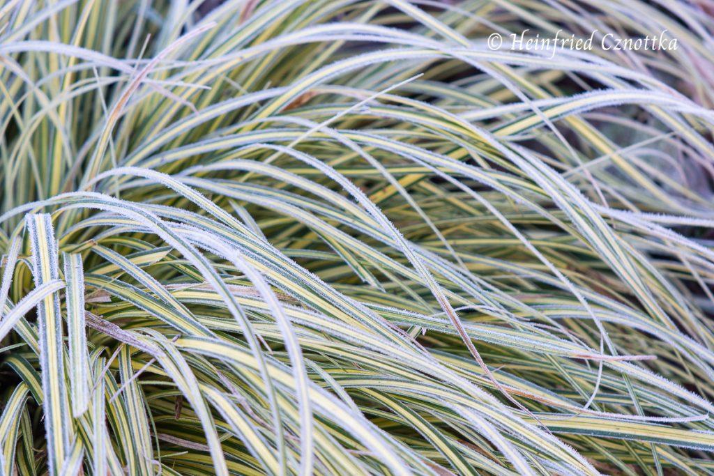 "Raureif auf Goldsegge (Carex ""Evergold"")"